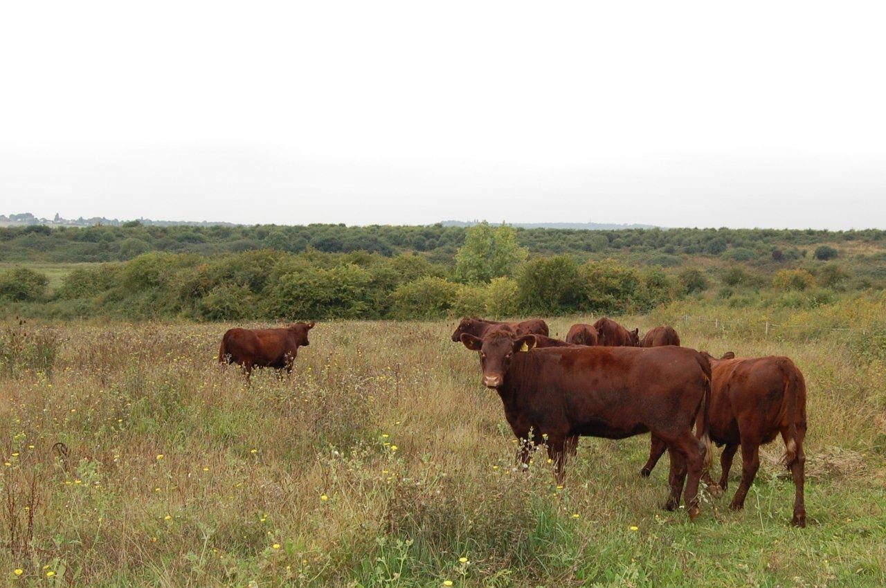 Conservation grazing at Wat Tyler Park