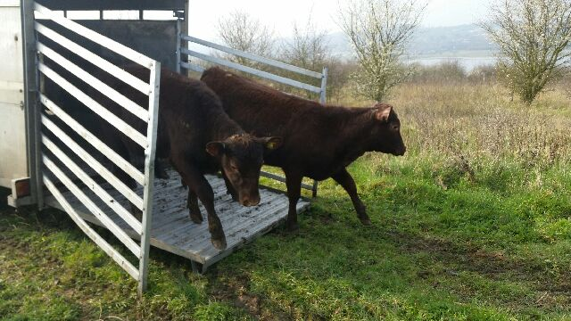 Red poll cattle being released from the trailer