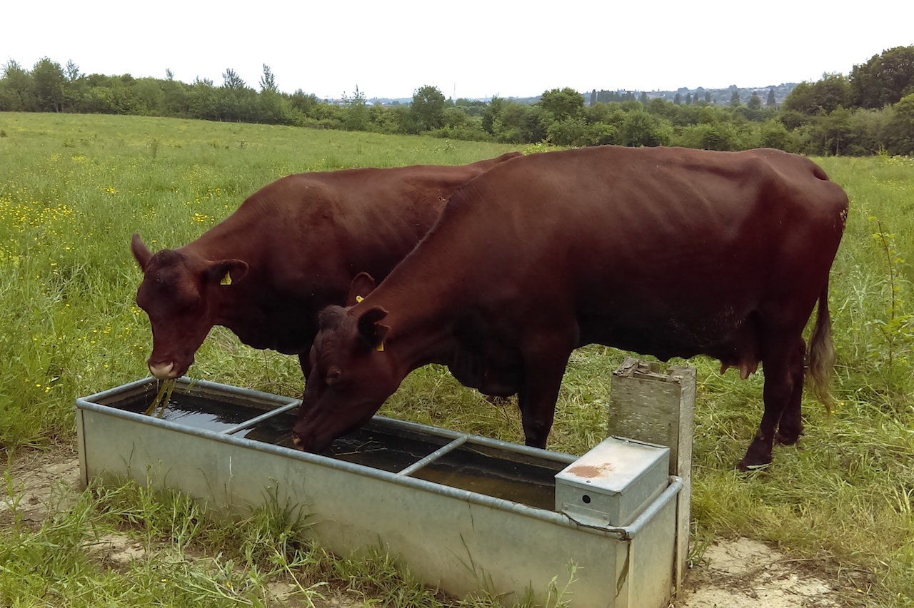 Conservation grazing cattle drinking from a trough